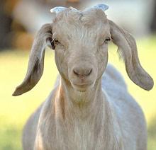 sheepc