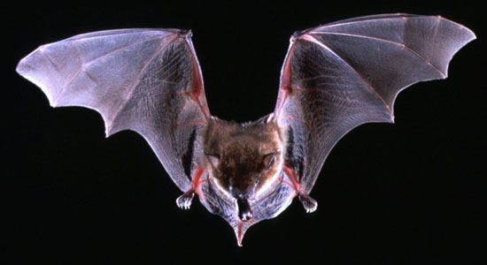 Aesop I Have Long Found Bats To Be One Of The More Fascinating Creatures Our Animal Kingdom Has Offer From Dog Sized Malaysian Flying Fo Down